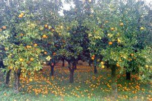 portokalies