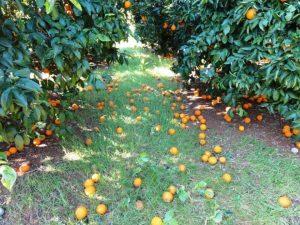 apozimiwsi portokalia