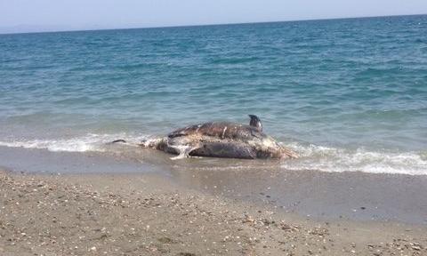 nekro delfini