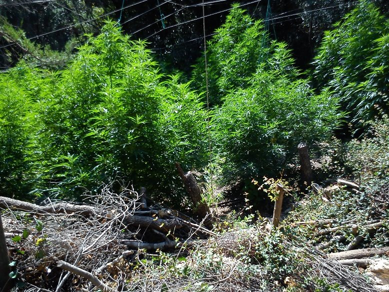 Αποτέλεσμα εικόνας για Λακωνία: Εντόπισαν φυτεία με 300 δενδρύλλια κάνναβης